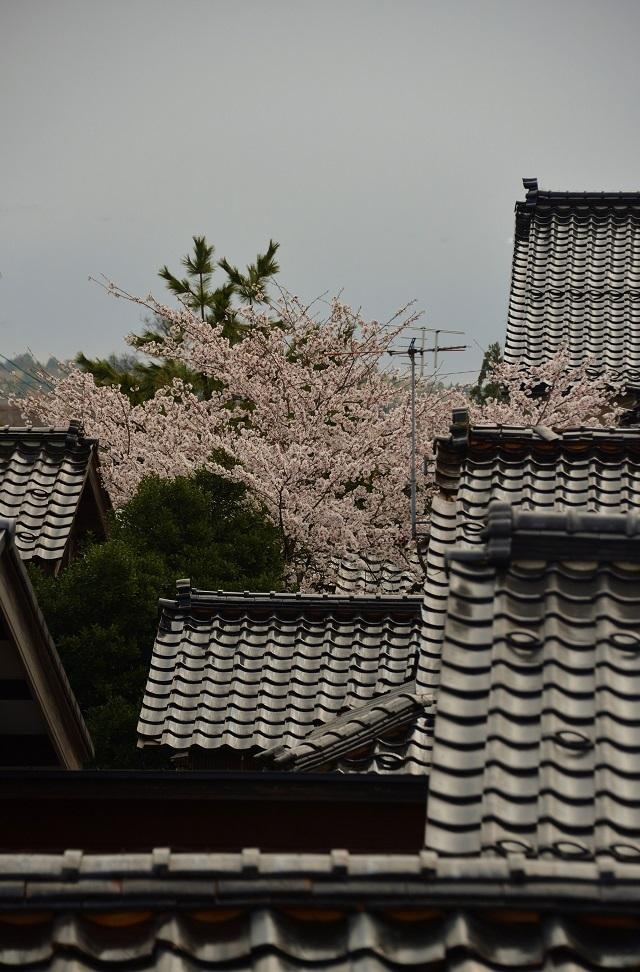 109才門からの桜2.jpg
