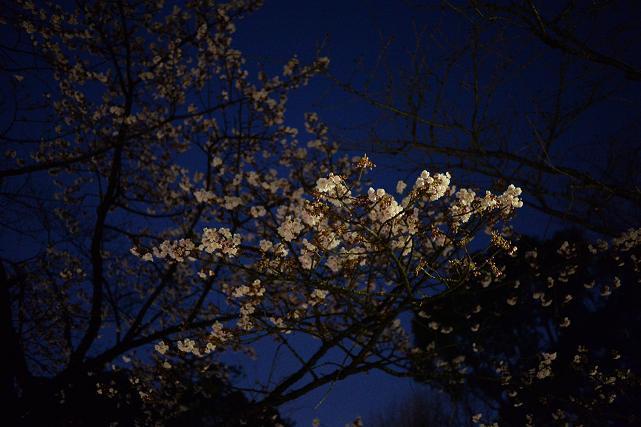 4寒桜.jpg